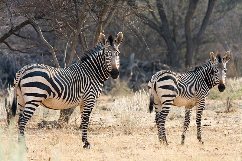 RZH - Das Zebra: Hartmann-Zebra