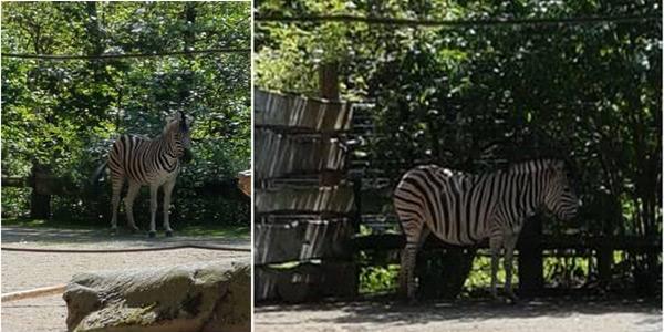 RZH - Aktuell: RZH-Zebra im Krefelder Zoo